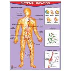 POSTER SISTEMA LINFATICO C/B