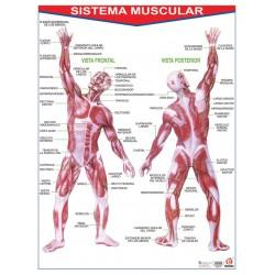 POSTER SISTEMA MUSCULAR C/B