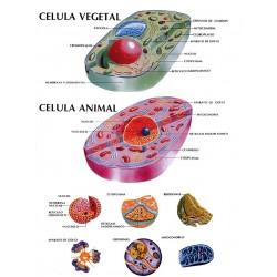 POSTER CELULA VEGETAL Y ANIMAL